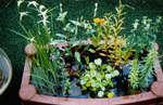 睡蓮鉢で寄せ植えビオトープ.jpg